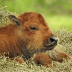 Calf Bovine Youth