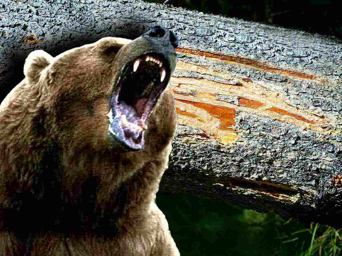 grizzly bear attacks - HD1024×768